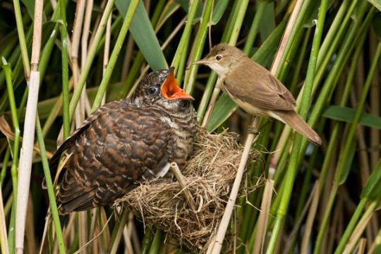Cuco (o pássaro maior) sendo alimentado pela mãe adotiva.